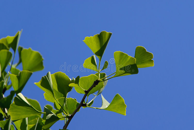 Ginkgo 33 photo stock