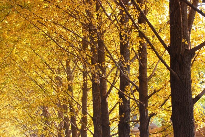 Ginkgo. Golden ginkgo biloba trees in autumn stock photos