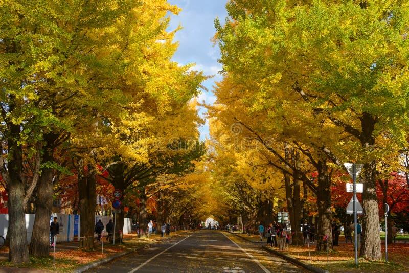 Ginkgo Avenue na Uniwersytecie Hokkaido zacienione żółtymi i czerwonymi liśćmi obraz stock