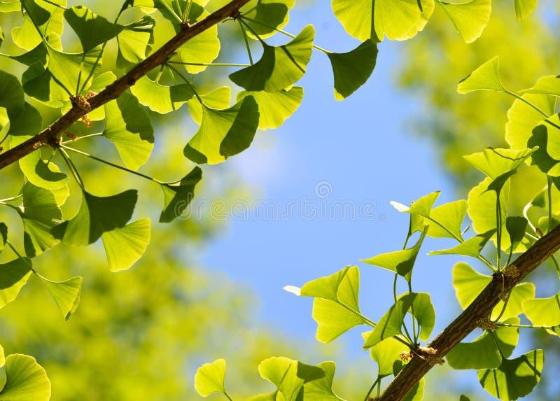 Ginkgo Biloba, πράσινο υπόβαθρο φύλλων στοκ εικόνα με δικαίωμα ελεύθερης χρήσης