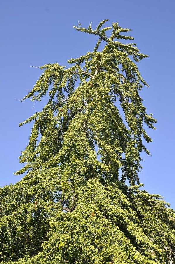 Download Ginkgo biloba stock photo. Image of maidenhair, nature - 12061566