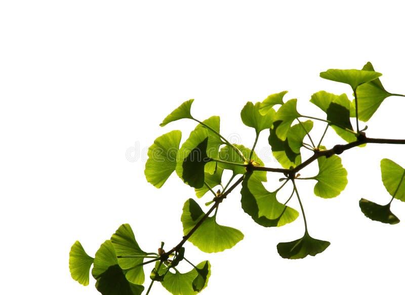 Ginkgo biloba. Green leaf isolated on white background stock image