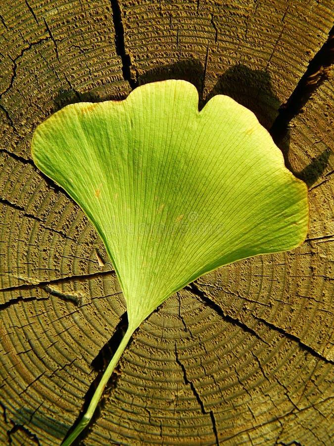 Download Ginkgo Biloba stock image. Image of healthy, autumnal - 16280559