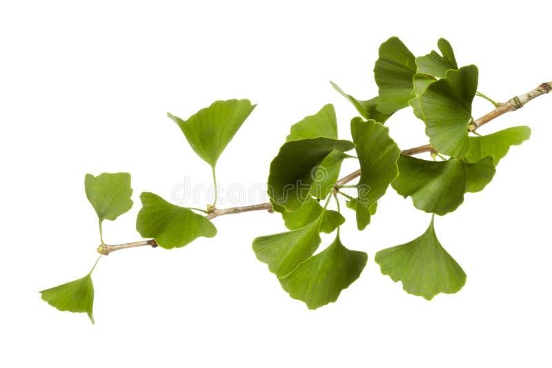 Ginkgo biloba. Gingko biloba branch on the white background stock photos
