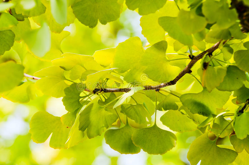 Ginkgo biloba. Twig with leaves of Ginkgo Biloba in shunshine royalty free stock photos