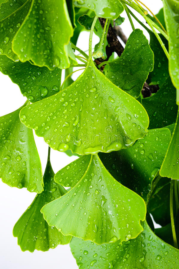 Ginkgo biloba. With wetted leaves stock photography