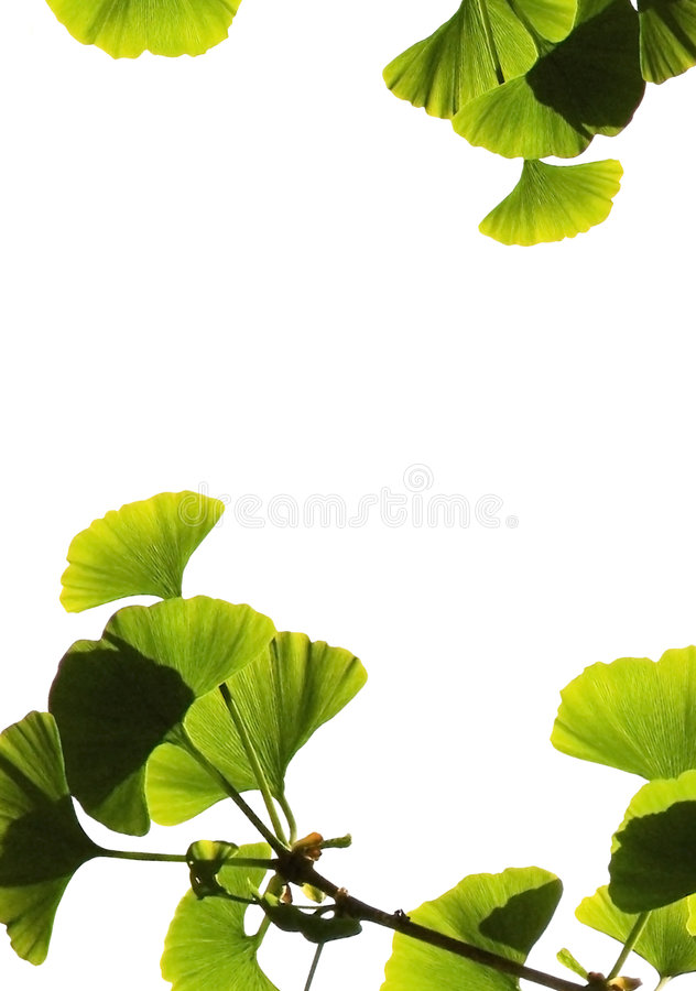 Ginkgo biloba. Leaves isolated on white background with space for text stock image