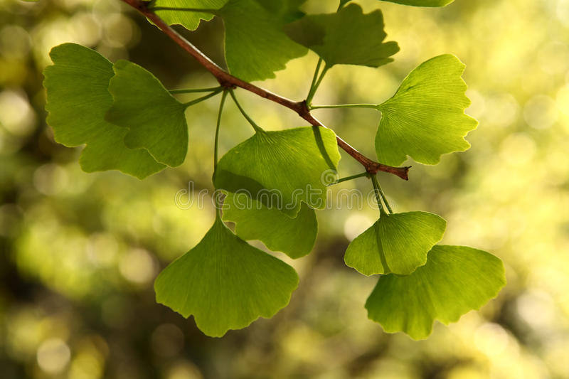 Ginkgo Biloba. Ginkgo leaves in forest, Ginkgo Leaf (Ginkgo biloba) with back lit blurred background and shallow stock photo