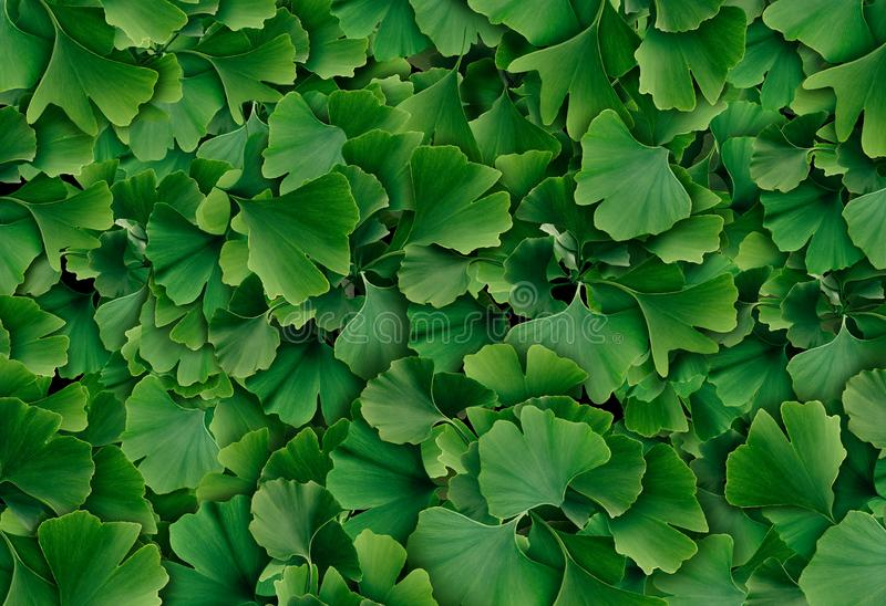 Ginkgo Biloba Background. Ginkgo Biloba leaf background as a herbal medicine concept and natural phytotherapy medication symbol for healing royalty free stock photos
