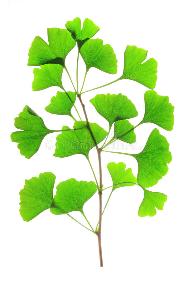 Ginkgo biloba. Branch with fresh green leaves in the spring of the ginkgo tree (Ginkgo biloba) isolated in front of white background stock photo