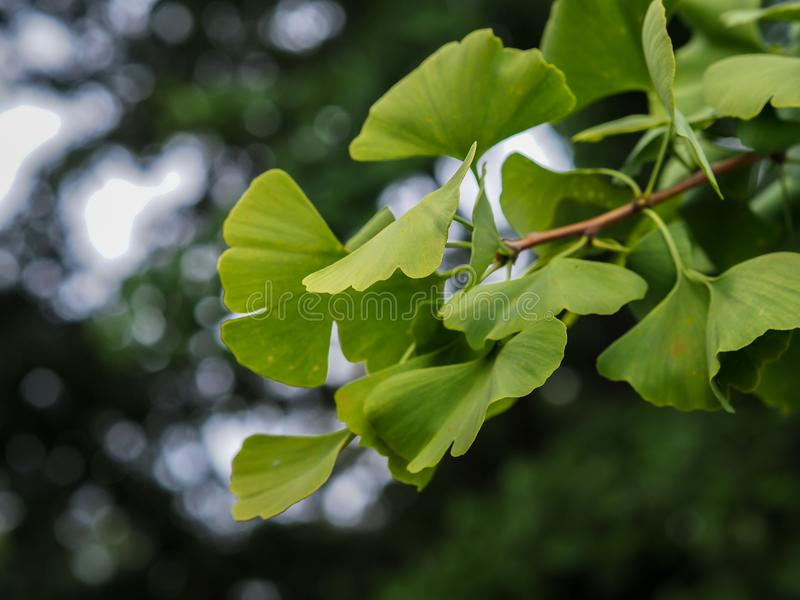 Ginkgo Biloba branch with leaves royalty free stock photo