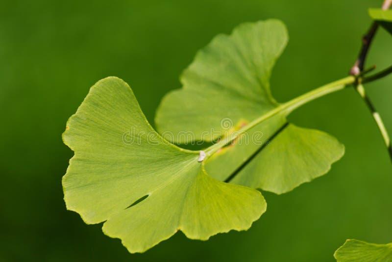 Ginkgo biloba. Close-up on ginkgo biloba tree leaves royalty free stock images