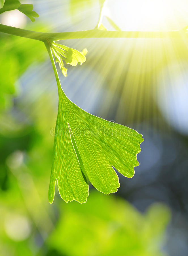Ginkgo Biloba. Detail branches with green leaf of Ginkgo Biloba stock photos