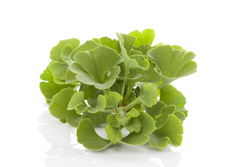 Ginkgo biloba. Fresh ginkgo biloba bunch on white background. Alternative medicine herb, memory enhancement royalty free stock images