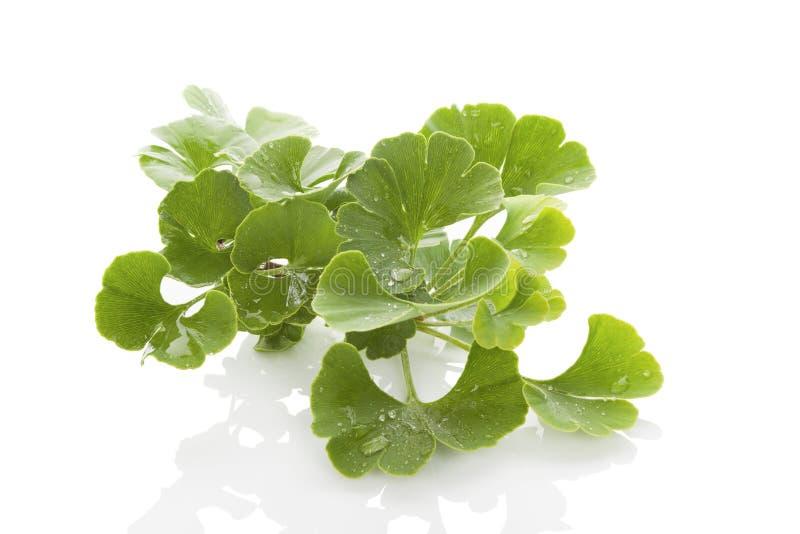 Ginkgo biloba. Fresh ginkgo biloba bunch on white background. Alternative medicine herb, memory enhancement stock images