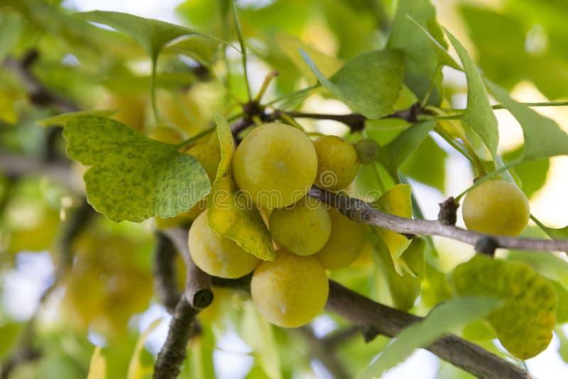 Ginkgo biloba fruit. Ripe Ginkgo biloba fruit on the tree in autumn royalty free stock photo