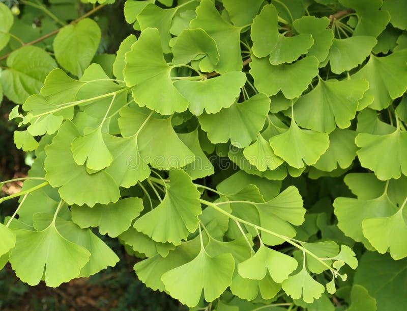 Ginkgo Biloba. Ginkgo biloba green leaves on a tree royalty free stock photo