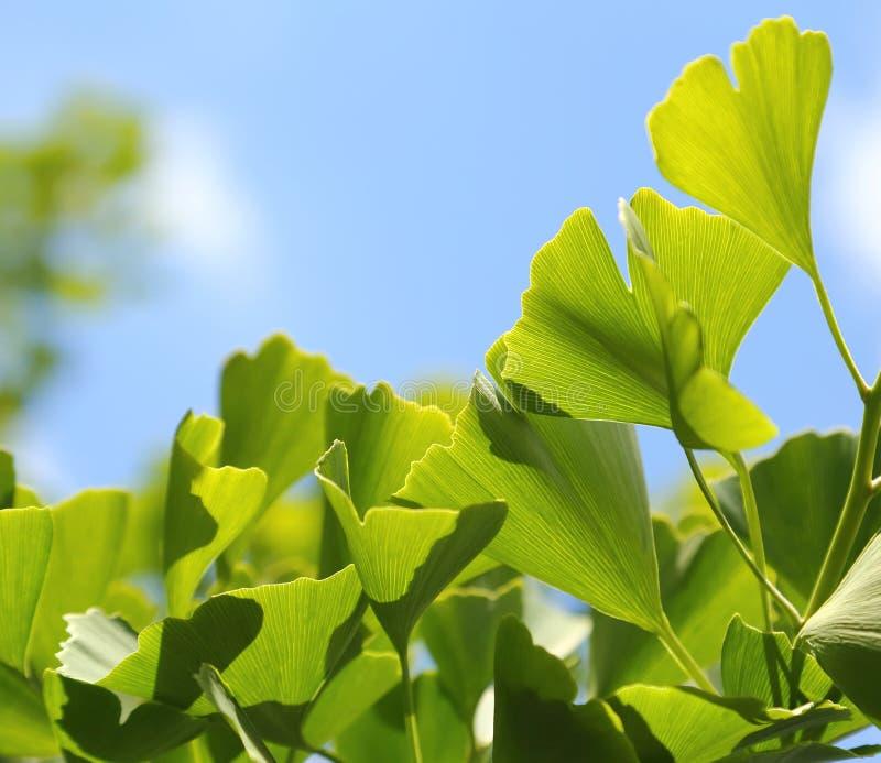 Ginkgo Biloba. Green leaves on a tree royalty free stock photo