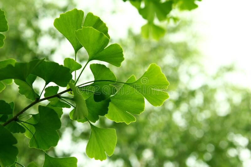 Ginkgo biloba green leaves on a tree. Ginkgo Biloba Tree Leaves on light sky royalty free stock image