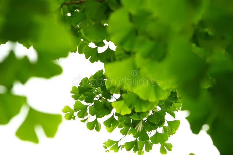 Ginkgo biloba green leaves on a tree. Ginkgo Biloba Tree Leaves on light sky royalty free stock photos