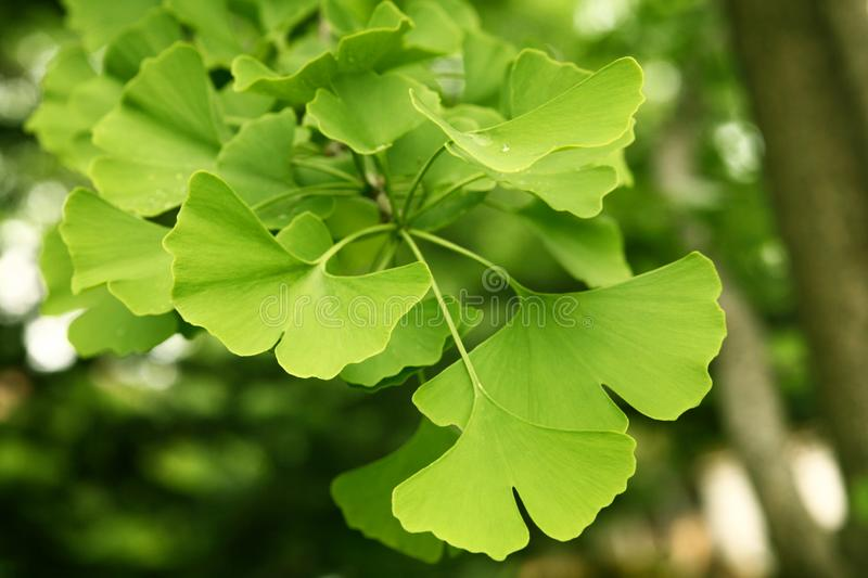 Ginkgo biloba green leaves on a tree. Ginkgo Biloba Tree Leaves with Water Drops royalty free stock photo