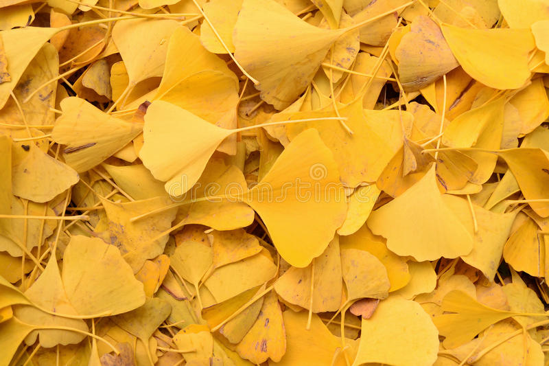 Ginkgo biloba. In the ground in yellow colours stock image