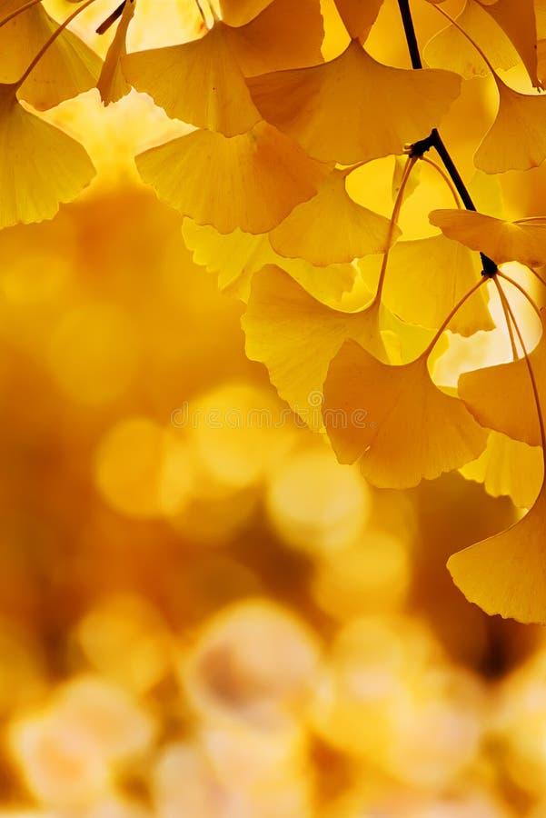 Ginkgo biloba koloru żółtego liście fotografia royalty free