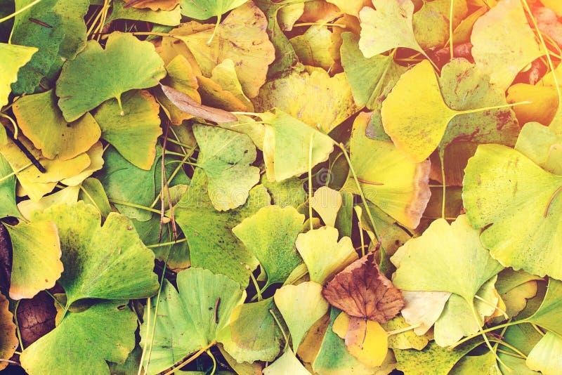 Ginkgo biloba lässt das Umfassen des Bodens im Herbst Getrennt auf Weiß stockfotografie