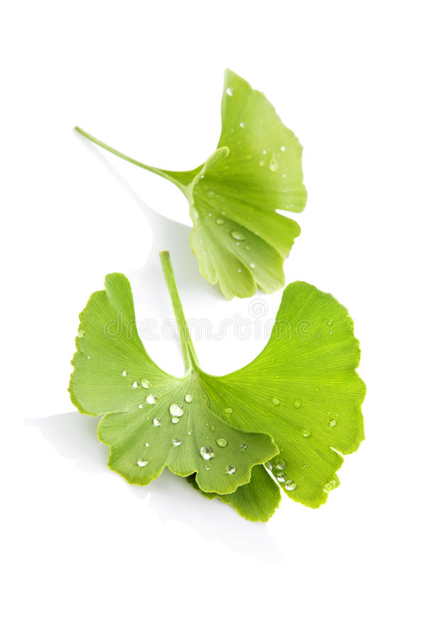 Ginkgo. stock photography
