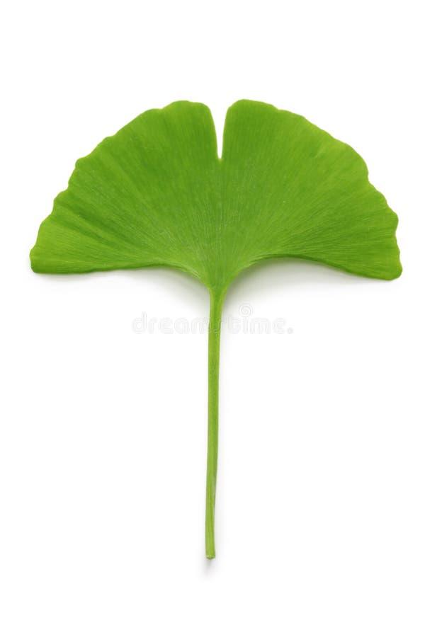 Ginkgo biloba leaf. On white background royalty free stock photo