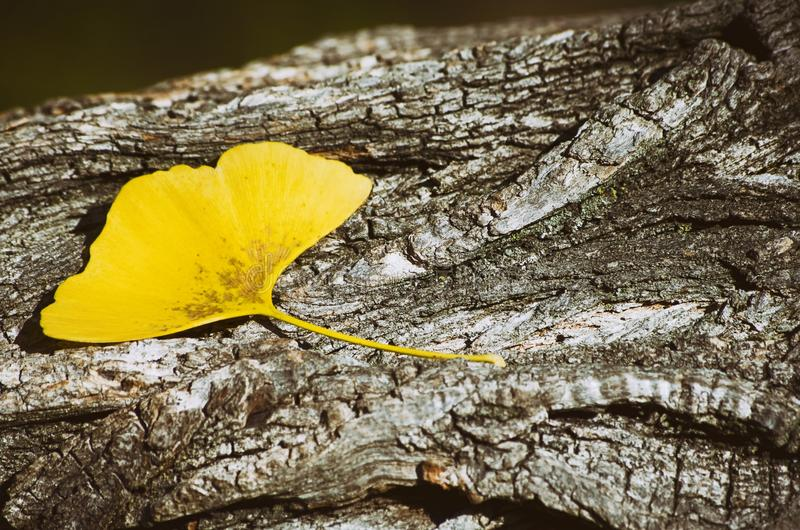 Ginkgo Biloba Leaf At Wooden. Golden Autumn Ginkgo Biloba Leaf At Wooden royalty free stock images