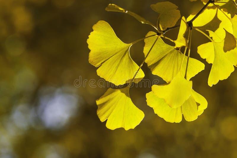 Ginkgo biloba leafs royalty free stock photos