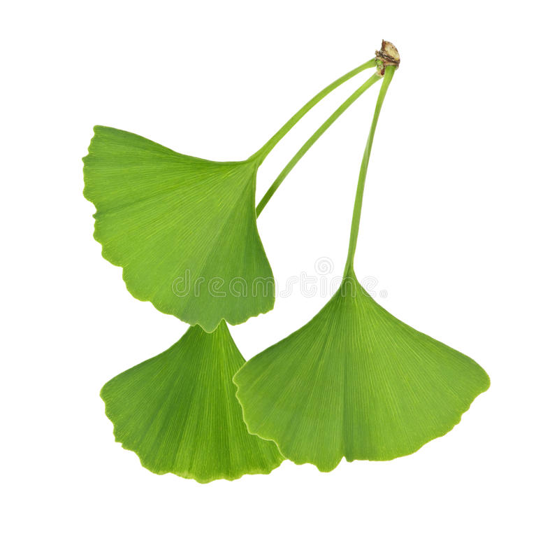 Ginkgo Biloba leaves. Three green ginkgo biloba leaves isolated on white background stock photo