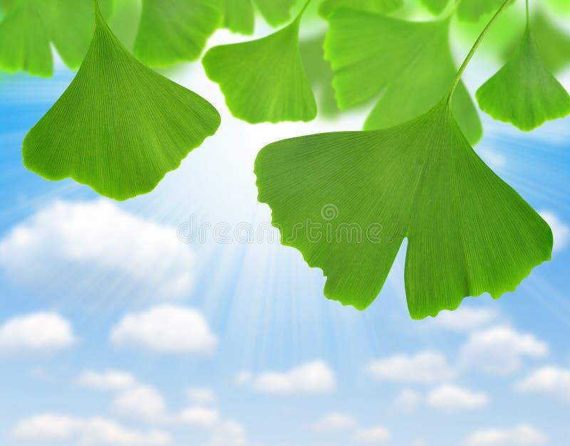 Ginkgo biloba. Leaves on blue sky royalty free stock image