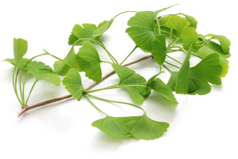 Ginkgo biloba leaves. Isolated on white background royalty free stock photography