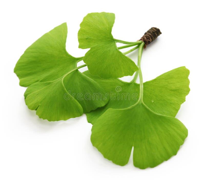 Ginkgo biloba leaves. Isolated on white background stock image