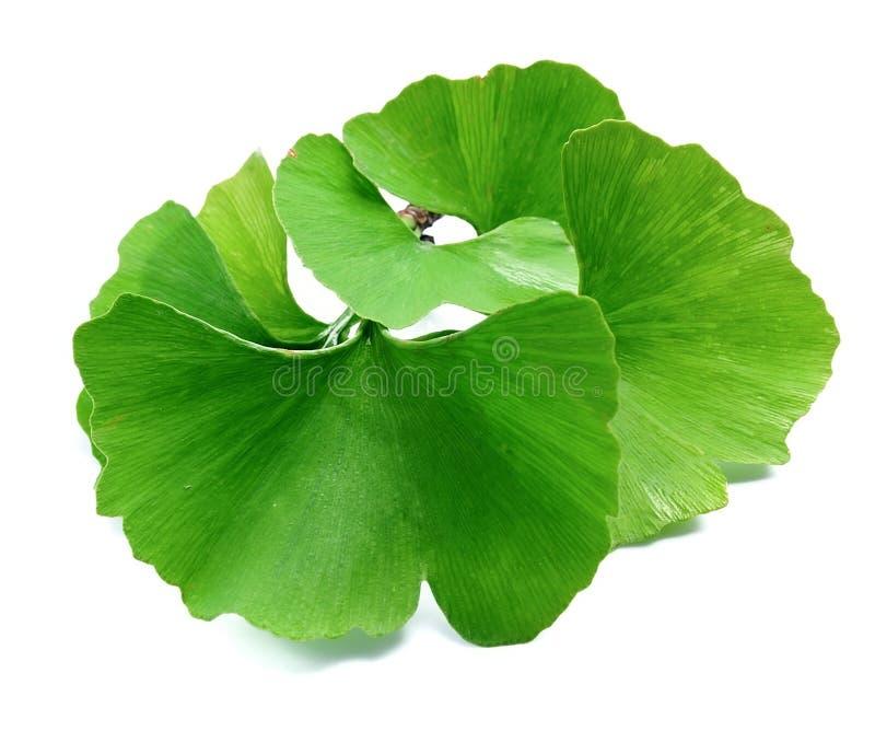 Ginkgo biloba leaves. Ginkgo biloba leaves isolated on white background royalty free stock photo