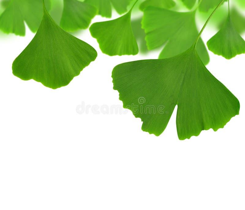 Ginkgo biloba. Leaves on white background royalty free stock images