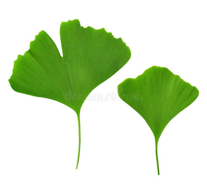 Ginkgo biloba. Leaves on white background stock photos