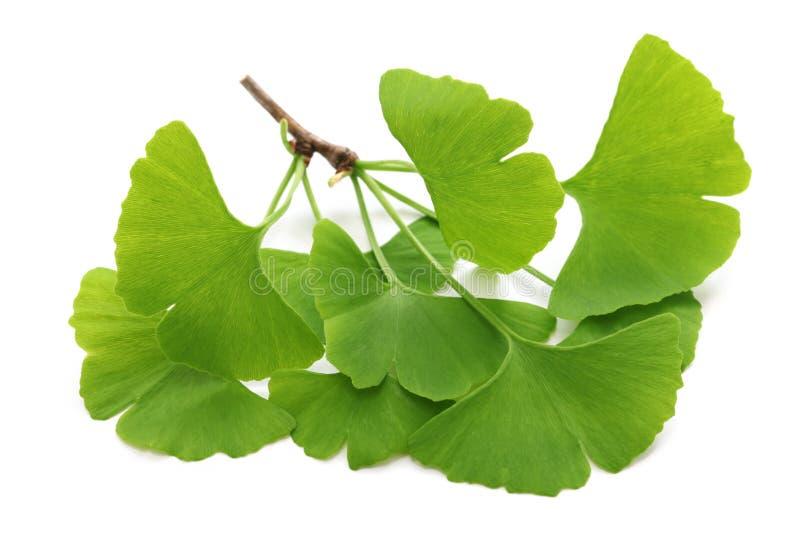 Ginkgo biloba leaves. On white background royalty free stock image