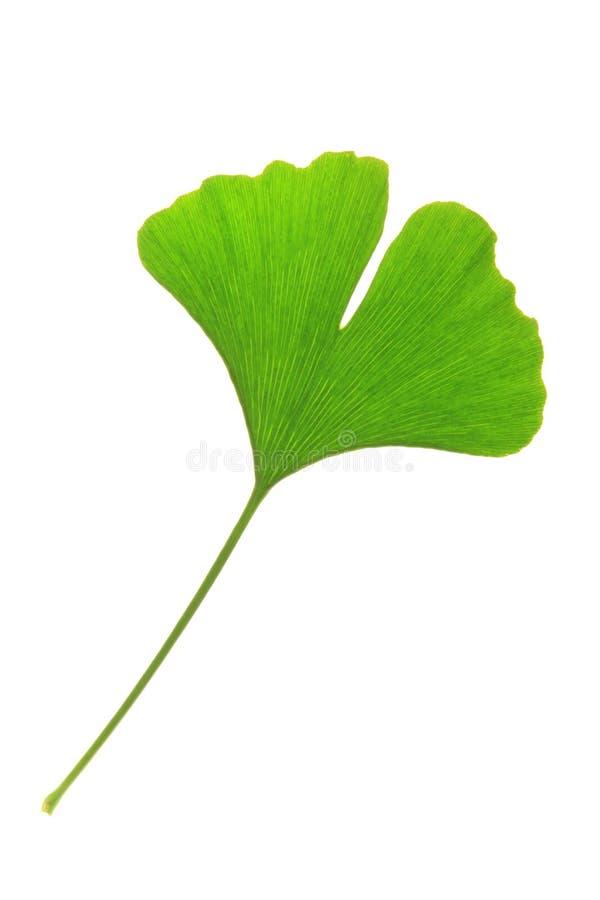 Ginkgo biloba. One single leaf of the Ginkgo tree (Ginkgo biloba royalty free stock photos