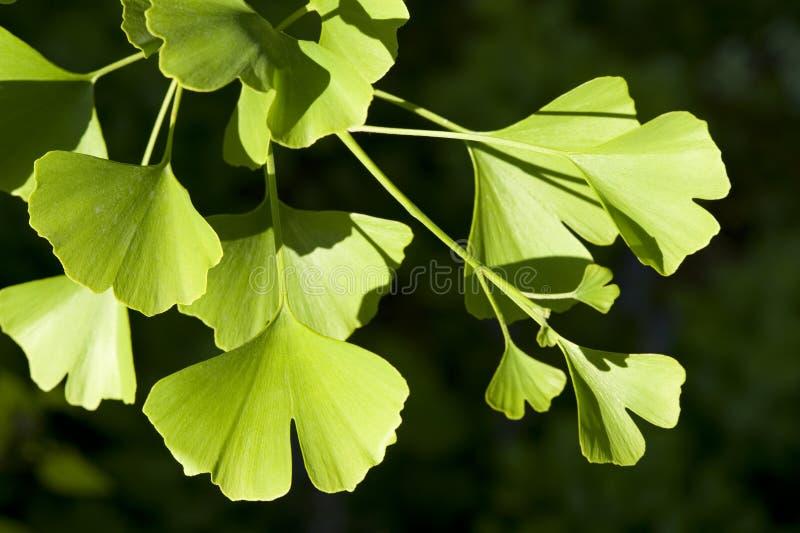 Ginkgo Biloba tree. Close-up on Ginkgo Biloba tree royalty free stock photos