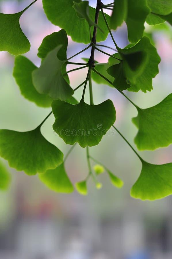 Ginkgo Biloba tree. Close-up on Ginkgo Biloba tree royalty free stock images