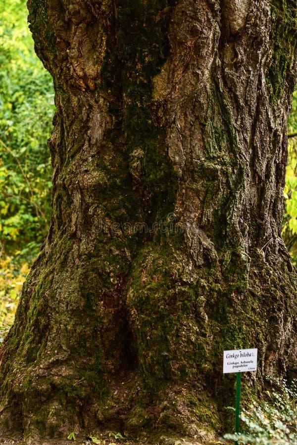 Ginkgo biloba Tree at botanical garden royalty free stock photo
