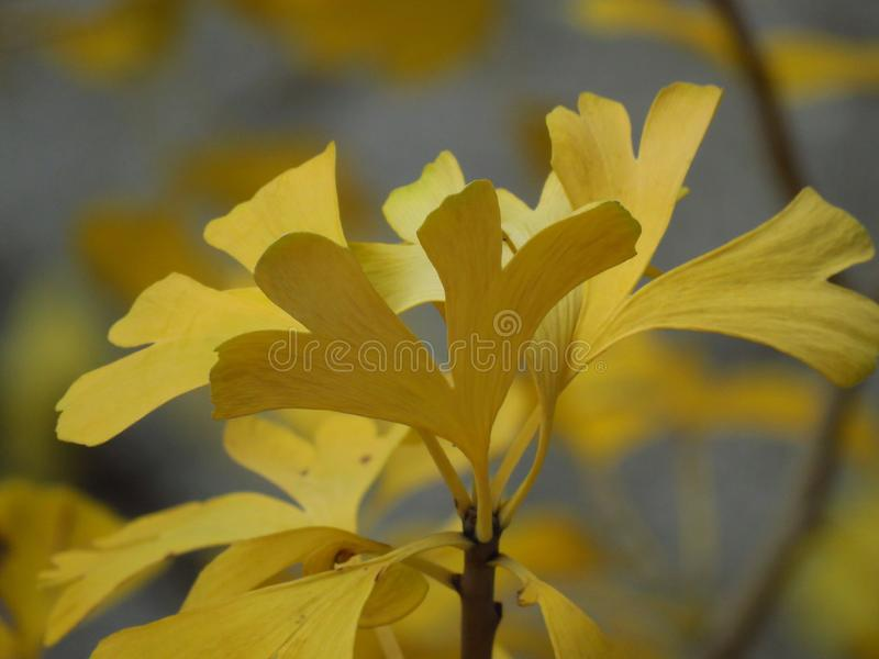 Ginkgo biloba tree branch. Autumn in the forest. Golden yellow tree leaves on blurred background. royalty free stock photos