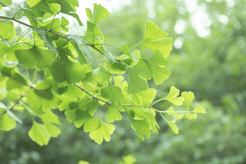 Ginkgo biloba tree with leaves, plant used in Chinese medicine. Ginkgo tree green leaves, medicinal plant decorative stock photos