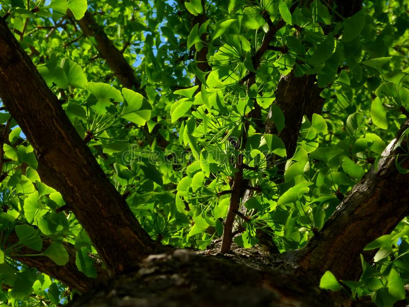 Ginkgo biloba tree in perspective with bright green leaves and strong branches stock photography