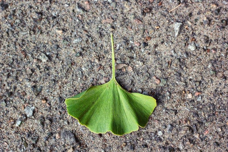Ginkgo biloba zieleni liście na kamieniu asfaltują tekstury tła jesieni Ginkgo liść Także maidenhair drzewo w podziałowym Ginkgop fotografia stock