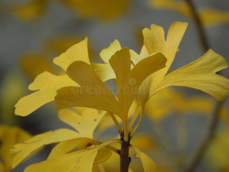 Ginkgo-Biloba-Zweig Herbst im Wald Goldene gelbe Blätter auf verschwommenem Hintergrund lizenzfreie stockfotos