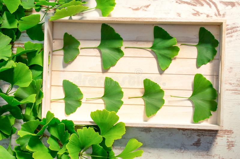 Ginkgo or ginko. Medicinal leaves from the ginkgo biloba tree from China. Ginko biloba leaf on an white vintage table. View from above royalty free stock images